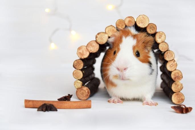 guinea-pig-1803362